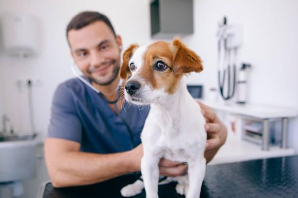 médico con estetoscopio en un cachorro - veterinario fotografías e imágenes de stock