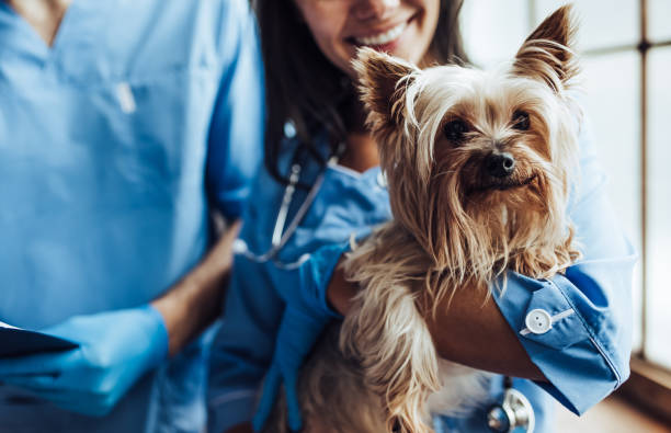 doctor veterinarian at clinic - veterinarian stock photos and pictures