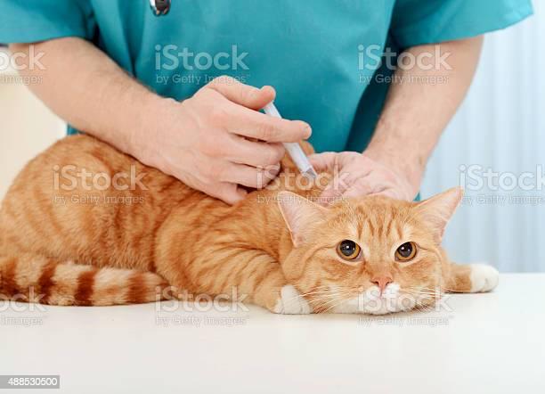 Doctor veterinarian examining beautiful adult cat picture id488530500?b=1&k=6&m=488530500&s=612x612&h=3lwvjxm3rkro4bjjzy2gbzbn7r3r03r nq3xwc04kgw=