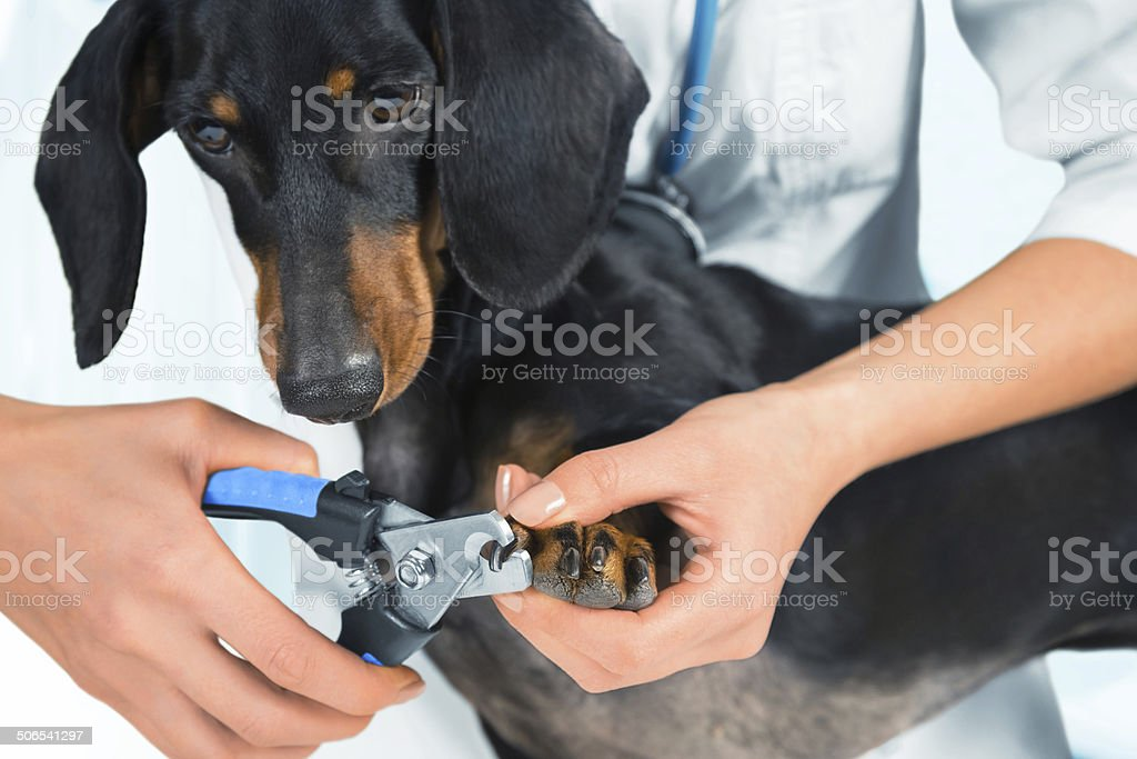 Doctor veterinarian is trimming dog nails stock photo