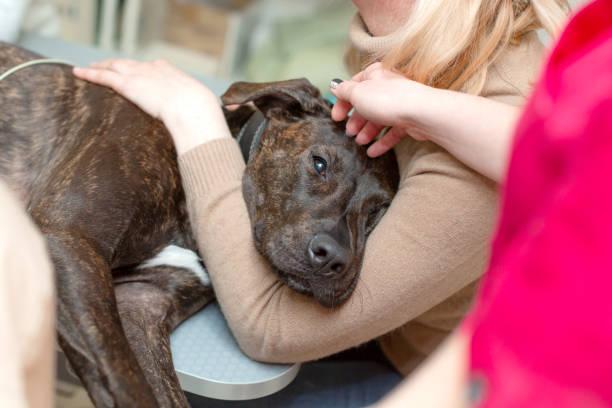 의사는 수의사의 사무실에서 강아지의 심장의 초음파 및 심전도를 만든다 - 개과 뉴스 사진 이미지