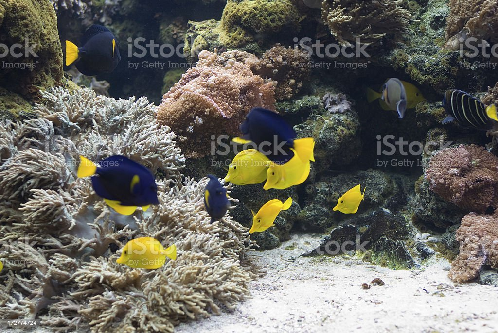 Doctorfish royalty-free stock photo