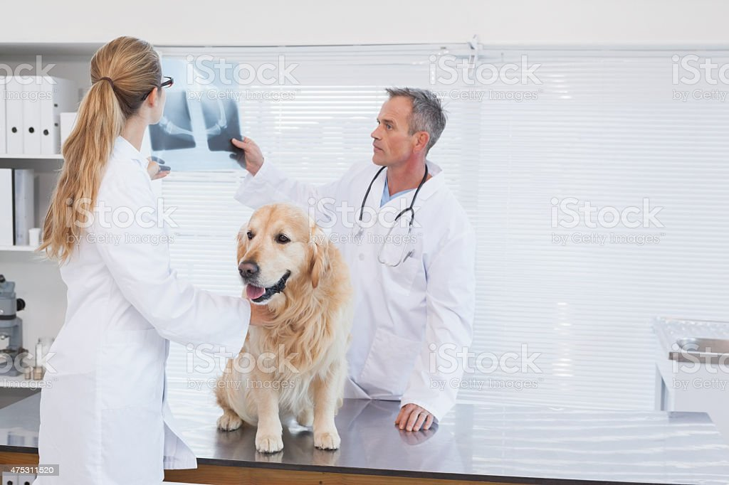 Doctors checking up on a labrador stock photo