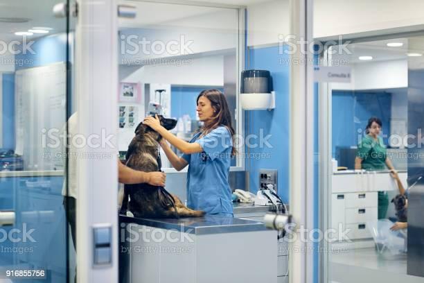 Doctors examining dog in hospital picture id916855756?b=1&k=6&m=916855756&s=612x612&h=fsqp3sijazcykg7ffxvqzt9botwkwfctefveas3j1mg=