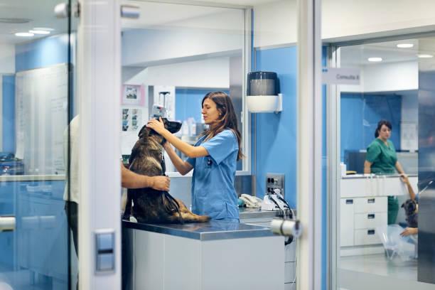 Doctors examining dog in hospital picture id916855756?b=1&k=6&m=916855756&s=612x612&w=0&h=u2 41xna9pilzu2mvyuocuslfx3fhzohfhcgjehqyn4=