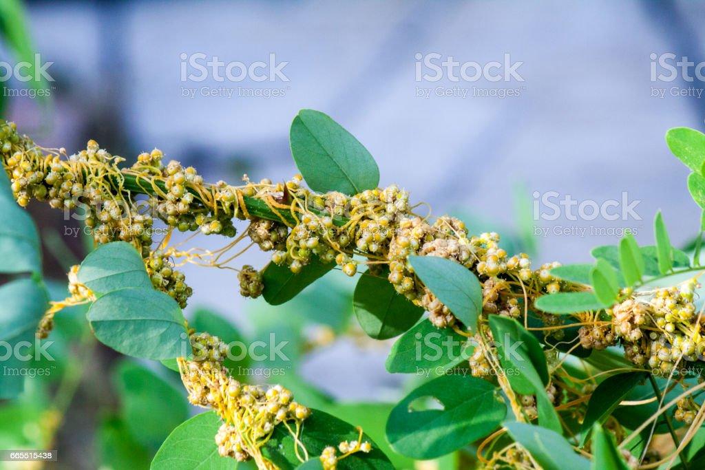 Dodder Genus Cuscuta Is Parasitic Plants Stock Photo