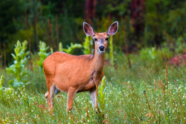 Doe and Fawn Mule Deer stock photo