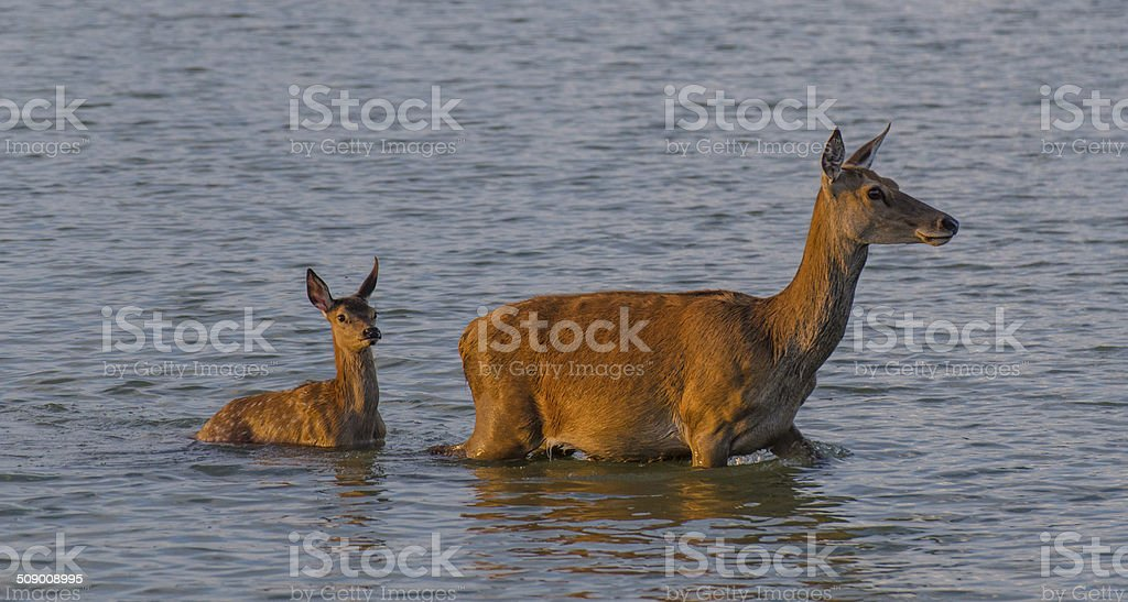 Doe and litle fawn on wetlands stock photo