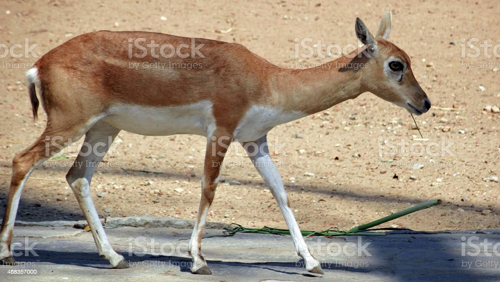 Doe - female deer walking royalty-free stock photo