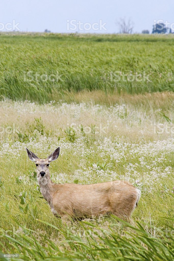 Doe in the grass 2 royalty-free stock photo
