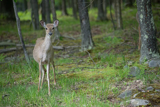 Doe in the woods stock photo