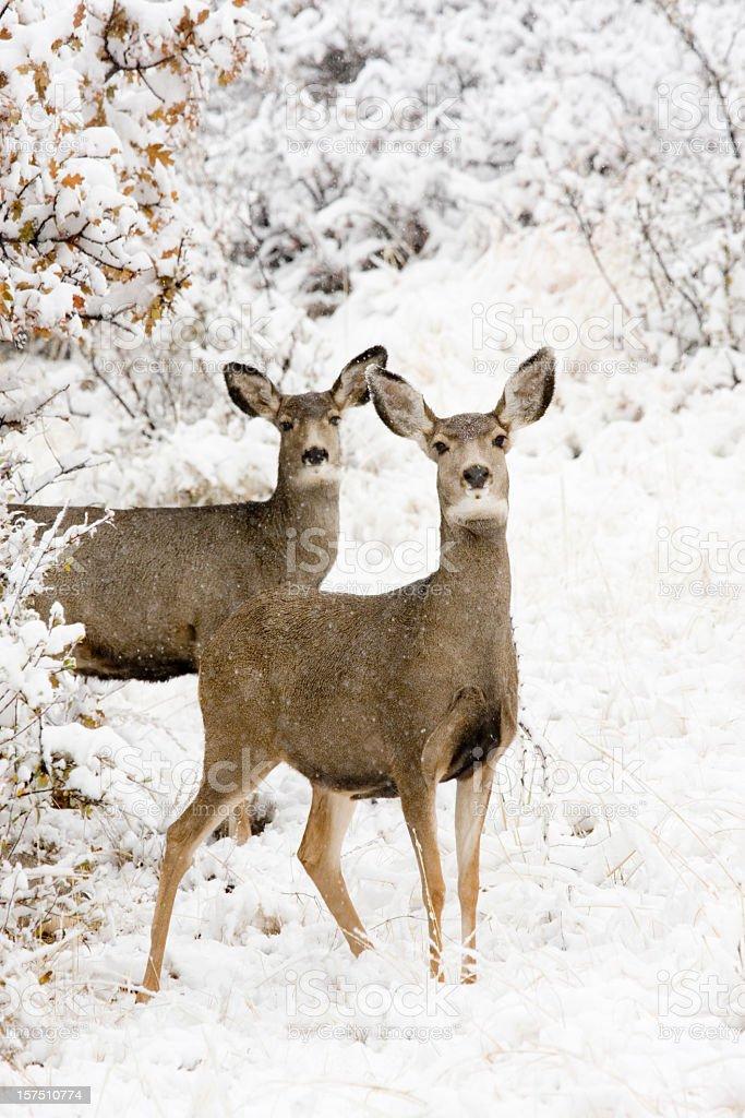 Doe Mule Deer in Snow stock photo