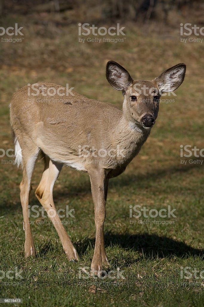 doe royalty-free stock photo