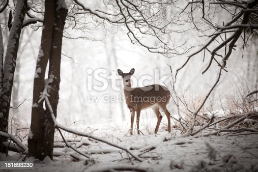Small deer standing at the edge of the treeline.