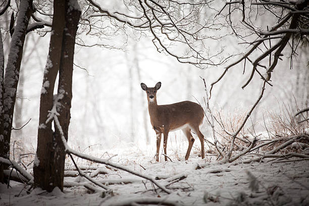 doe standing at edge of woods - forest animals stock photos and pictures