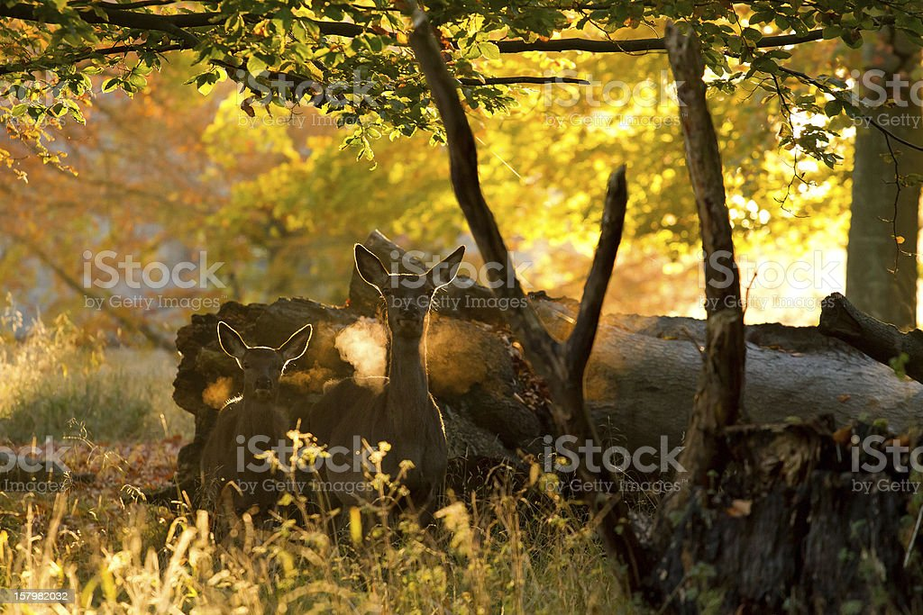 Doe with fawn royalty-free stock photo