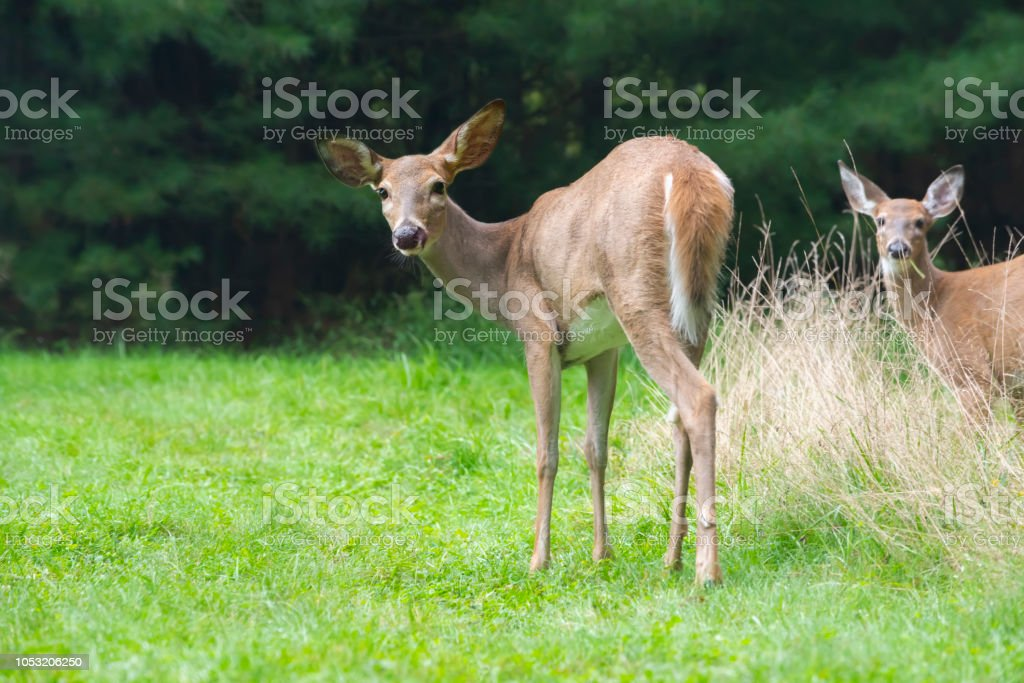 Doe with Young Fawn stock photo