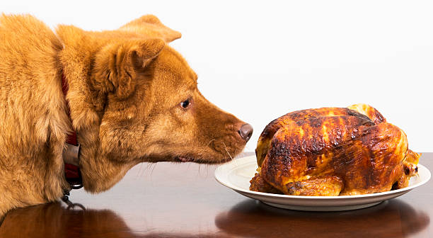 Dog about to eat rotisserie chicken stock photo