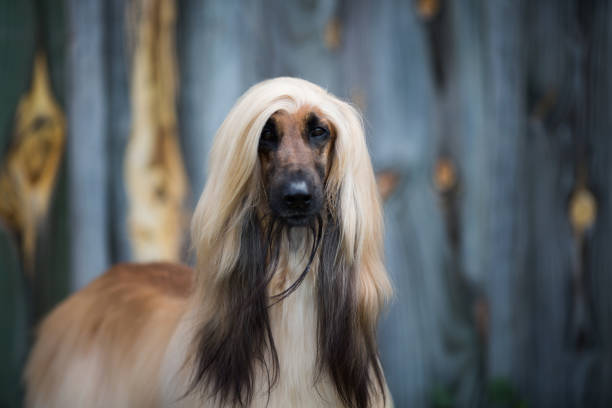Dog: Afghan Hound Young Afghan Hound head study sight hound stock pictures, royalty-free photos & images