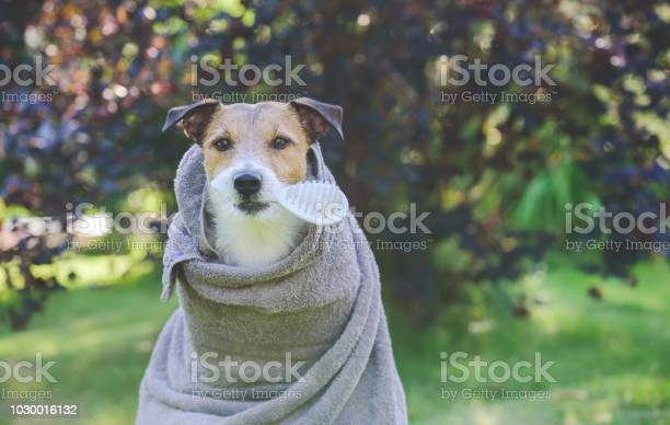 Dog after outdoor shower wrapped into towel holding brush in mouth picture id1030016132?b=1&k=6&m=1030016132&s=612x612&h=uor0fscndzvhtulos37zxce4jes9wgvvngogs z6lqa=