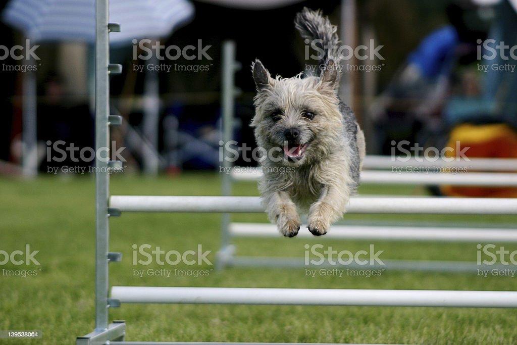 Dog agility 2 stock photo
