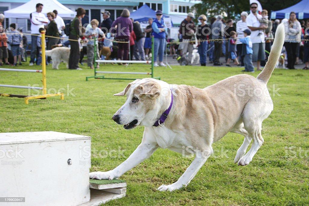 Dog agility, flyball stock photo