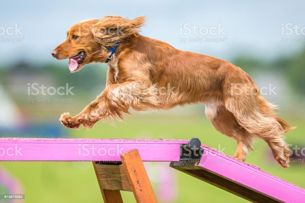 Perro agilidad - foto de stock