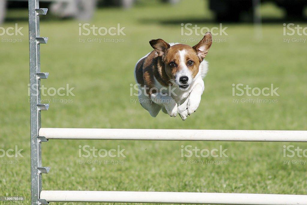 Dog agility, terrier stock photo