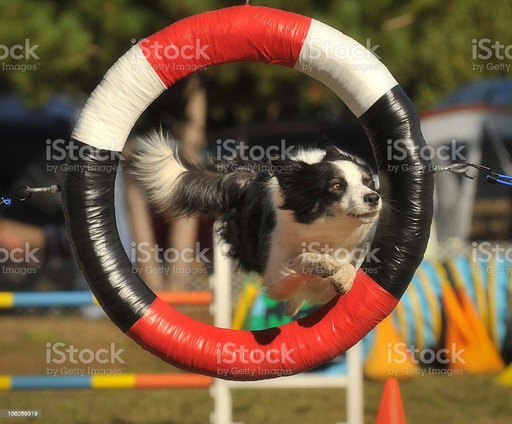 Dog Agility Tire Jump royalty-free stock photo