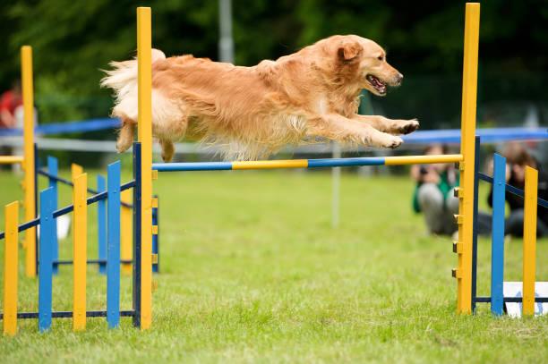 Dog agility with golden retriever picture id182791131?b=1&k=6&m=182791131&s=612x612&w=0&h=pnye2d8dcc4ot8tfzakzud6demxsxwwsyefarqrxx2q=