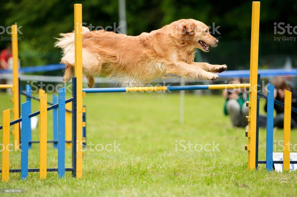 Perro agilidad con golden retriever - foto de stock