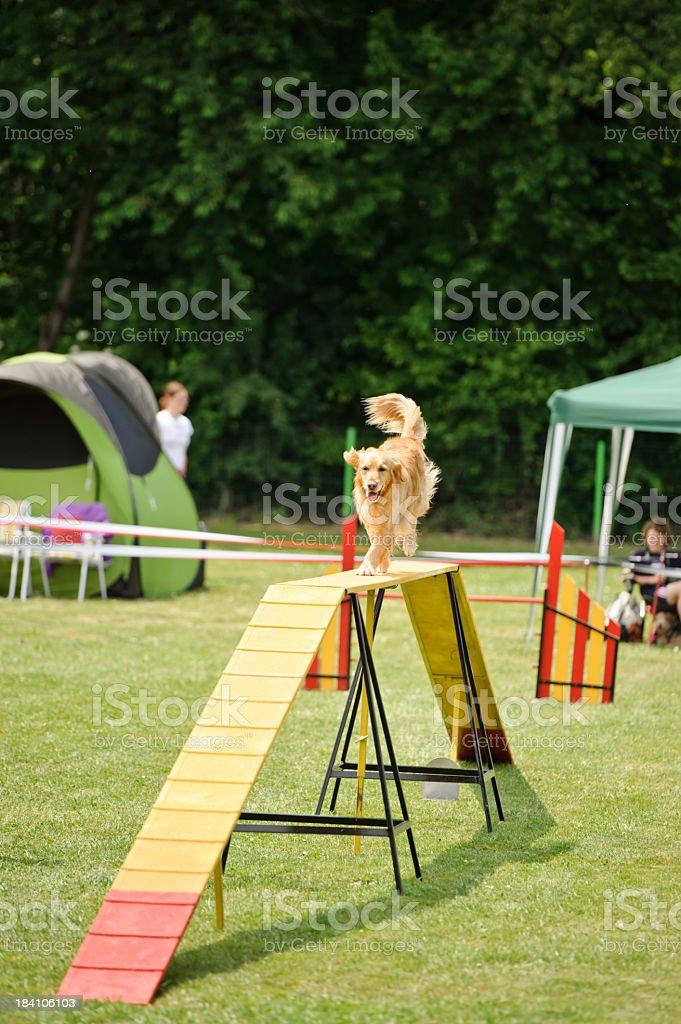 Dog agility with golden retriever stock photo