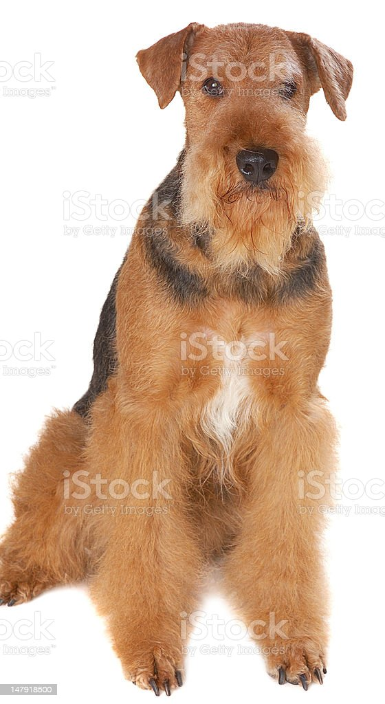 dog Airedale stock photo