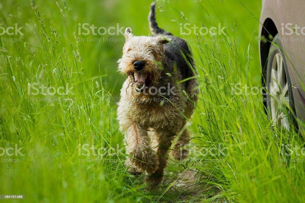 Dog. Airedale. stock photo