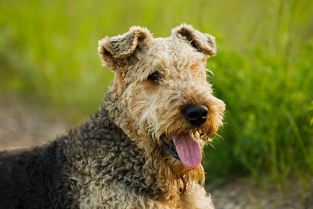 Chien. Airedale. - Photo