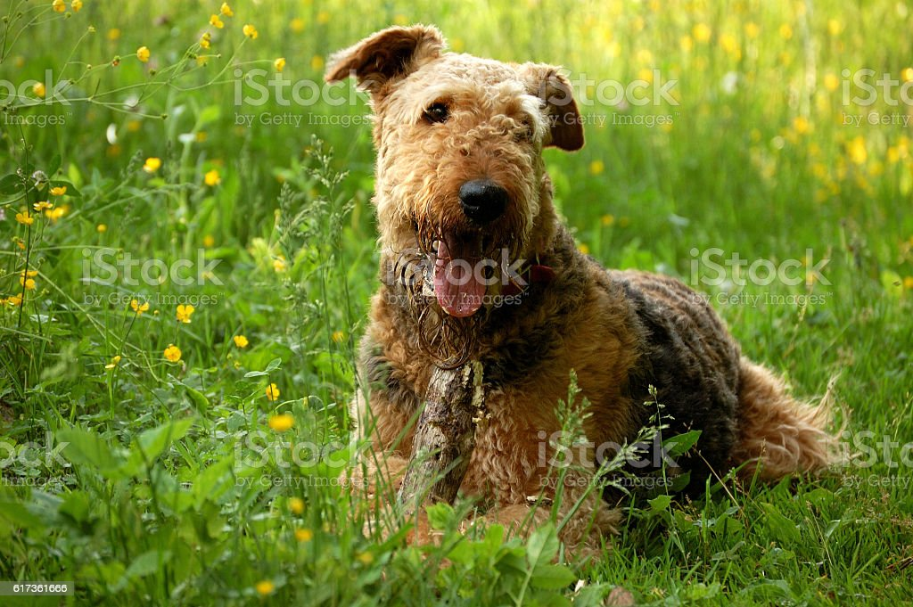 Dog airedale terrier lying on grass stock photo