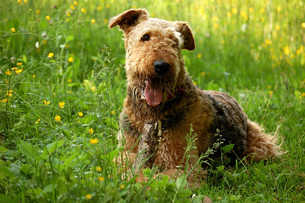Dog airedale terrier lying on grass - Photo