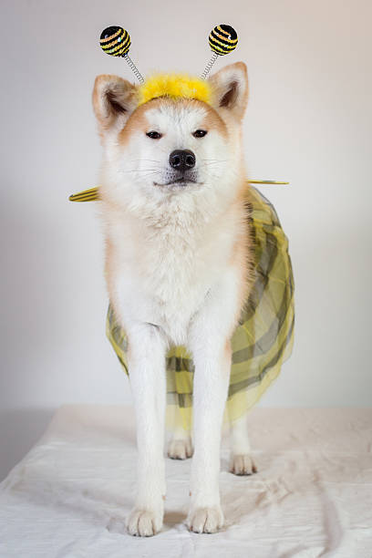 dog akita inu bee stock photo