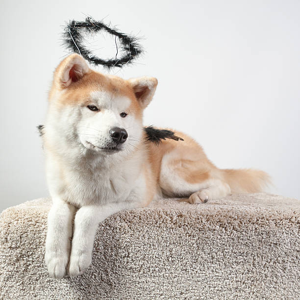 dog akita inu black angel stock photo