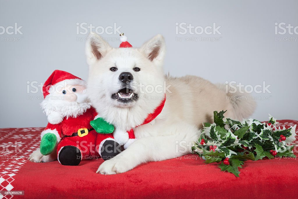 dog akita inu christmas stock photo
