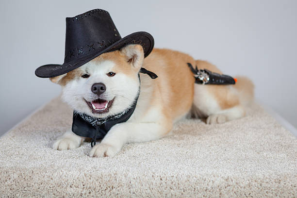 dog akita inu cow boy stock photo