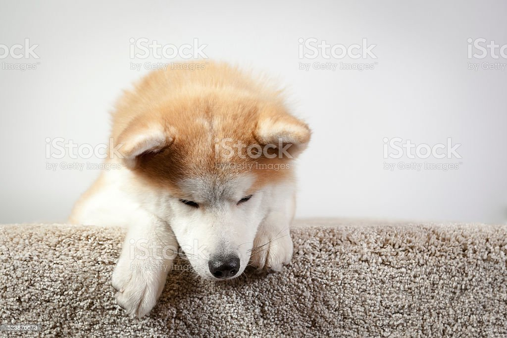 dog akita inu down stock photo