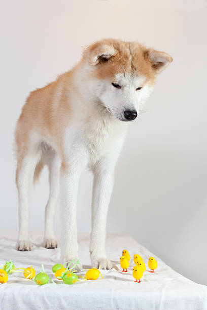 dog akita inu happy easter stock photo