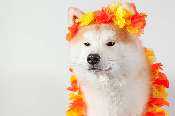 dog akita inu hawai stock photo