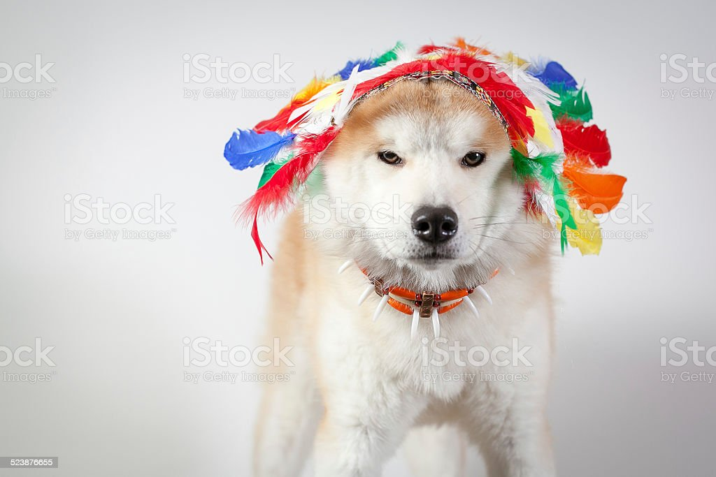 dog akita inu indian stock photo