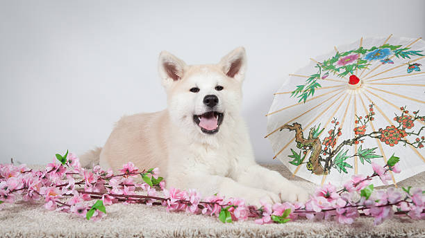 dog akita inu japanese decoration stock photo