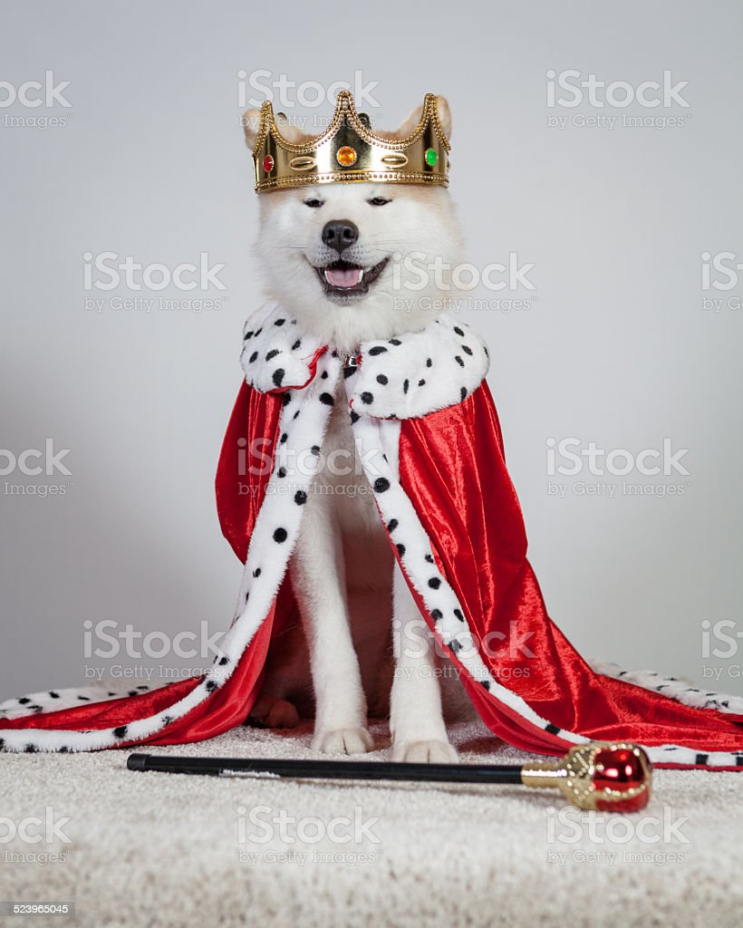 dog akita inu king stock photo