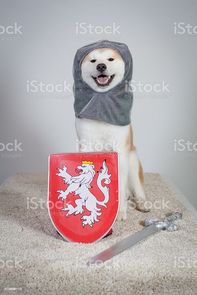 dog akita inu knight stock photo