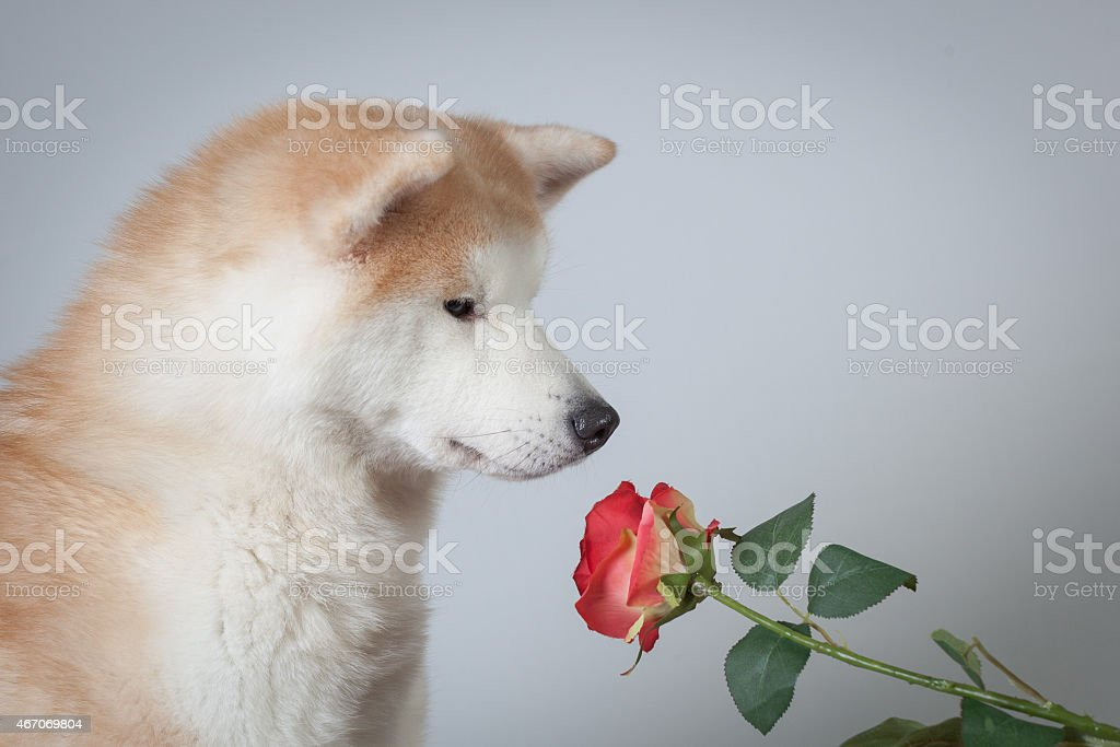 dog akita inu love valentine's day stock photo