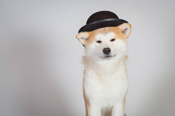 dog akita inu melon hat stock photo